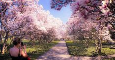 Niagara's Magnolia Alley In Ontario Will Be In Full Bloom This Spring - Narcity Long Blooming Perennials, Blooming Flowers, Summer Flowers, Pink Flowers, Pink Dogwood, Dogwood Trees, Cherry Blossom Season, Cherry Blossom Tree, Back Gardens
