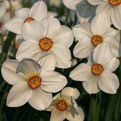Innen gelb-rot, außen strahlend weiß - die Narzisse Narcissus actaea - Pflanzzeit ist im Herbst - online bestellbar bei www.fluwel.de