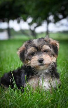 Morkie Puppies For Sale, Rescue Dogs For Adoption, Lancaster Puppies, King Charles Spaniel, Mans Best Friend, Yorkie, Puppy Love, Dog Breeds, Animals Dog