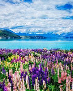 "Lake Tekapo,New Zealand from New Zealand (@travelnewzealand) on Instagram: ""Lovely Lupins by the lake @pixelnlight"" #NZ_lakes #laketekapo_NZ"