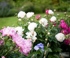 Peony ~ zones 3 - 8.  Early summer flowers as most bloom in May & June ~ die back to the groun in winter