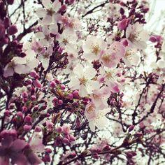 We love all the cherry trees flowering around the campus #cherryblossom #cherrytree #flowers #springintrinity #spring #trinitycollege #tcddublin #trinitycollegedublin #dublin #ireland #lookup #discoverdublin #university #campus