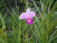Orquídea Bambu (Arundina graminifolia)