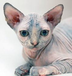 "Sphinx kitty, it's sad because many people say ""eww"" to hairless cats and they are lovely little darlings awwwwww ❤"