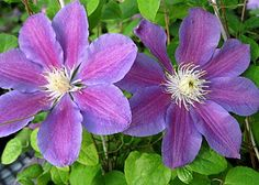 Klehm's Song Sparrow Farm and Nursery--Clematis--'Lola'