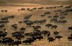 North American bison are at their greatest extent. As Europeans arrive on the continent & more native tribes are pushed inland, bison numbers will fall to a perilous 275 over the next 289 years, before they are saved by early ecologists. Native American History, Native American Indians, Native Americans, Buffalo Pictures, Buffalo Painting, American Bison, Lion, American Frontier, Majestic Animals