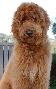 This is sonya the greats christopher! Goldendoodles English Goldendoodle Puppy Breeder - Goldendoodle Puppies For Sale - Moss Creek Goldendoodles English Goldendoodle, Red Goldendoodle, Goldendoodle Puppy For Sale, Australian Labradoodle, Goldendoodles, Labradoodles, Cockapoo, Dog Love, Puppy Love