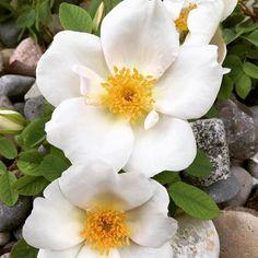 Die Strauch-Rose 'Nevada' (Perdo Dot Spanien 1927) - vermutlich eine Hybride der Wildrose Rosa moyesii - bezaubert schon im Mai mit elfenbein-weissen schalenförmigen Blüten und einem bildschönen Kranz gelber Staubgefässe. Die leicht duftenden oft über 13 cm grossen Blüten reihen sich dicht an dicht entlang der bogig überhängenden fast stachellosen Triebe. Im Spätsommer gibt es eine schwächere Nachblüte mit einem Hauch von Rosa. Diese wuchs-freudige Schönheit erreicht bis zu 250 cm Höhe und…