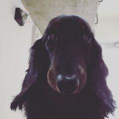 おはようございます☀ 朝、身体が重い、、、 息苦しい、、、 んっ⁉️ 乗ってましたよこの方がΣ(-᷅_-᷄๑) 無言でただただジッと待ってます🐶 ・ ・ 昨日、プラントハンガーが1つ売れましたっ✨ ご購入頂いた方いらっしゃいましたら 本当にありがとうございますっ😆✨ #愛犬 #短足部 #ダックス #dogs #短足犬  #ミニチュアダックス部  #コンクリート #リビング #インダストリアル #デザイン住宅 #デザイン建築 #デザイン #デザイナーズ  #建築デザイン #寝室 #寝室インテリア #インテリアデザイン #お家 #マイホーム #コンクリート住宅 #コンクリ #モルタル #北欧 #リビングインテリア #寝起き #インテリアコーディネイター #インテリアコーデ #暮らしを楽しむ #日々の暮らし #暮らし