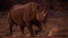 Aggressive Black Rhino in Erindi - This male black rhino was encountered right as the sun was setting. Veering back and forth and drooling suggests it was in an aggressive mood and we found it was best to leave him alone.