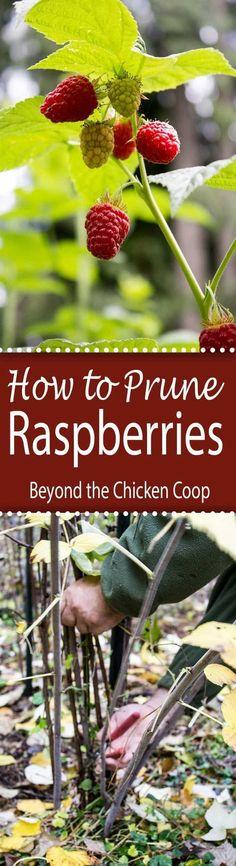 How to Prune Raspberries. #organicgardens #gardeningorganic
