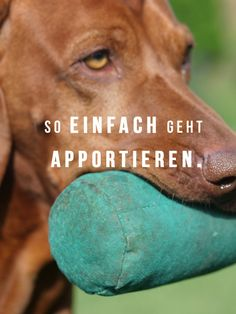 Apportieren - das ideale Hundetraining Dog training doesn't have to be exhausting or boring. No, dog training can also be exciting and excitingly positive. Yes, dog training can even be really fun Baby Dogs, Pet Dogs, Animals And Pets, Baby Animals, Unusual Animals, Retriever Dog, Vizsla, Training Your Dog, Dog Care