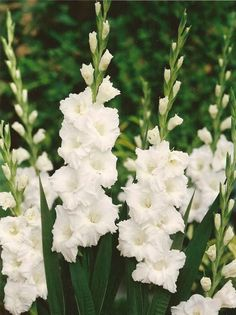 white gladiolas as option for taller element in altar arrangements