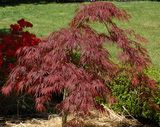 Crimson Queen Japanese Maple Trees