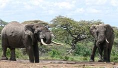 Article draws focus on the urgent need for sentencing that refelects the crime - poachers need to be fearful of the law if it's to act as any form of deterent One incident illustrates perhaps the biggest challenge facing those battling to save Africa's elephant population from almost certain extinction at the hands of ivory poachers – outdated, and in some cases woefully inadequate legislation and penalties which, rather than acting as a deterrent, actually encourage poaching.
