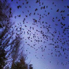 The crows of UW Bothell... #murder #creepy #butilovemyschool #uwb PHOTO CREDS: @iHatePeople'✌♡