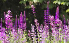 Salvia Nemorosa Caradonna, Erysimum Bowles Mauve and Nepeta Walkers Low in Ábaton gardens