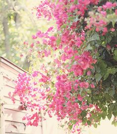 Bougainvillea...reminds me of growing up in SoCal.