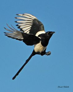 Interview with a black-billed magpie Kinds Of Birds, Love Birds, Beautiful Birds, Pie Bavarde, Magpie Tattoo, Crow Art, Crows Ravens, Bird Wings, Creatures Of The Night