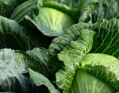 Cabbage is often overlooked in the produce section, but it is a great alternative to more common leafy greens. Sesame seeds and oil give the cabbage a rich, nutty flavor. Types Of Cabbage, Cabbage And Beef, Braised Cabbage, Savoy Cabbage, Cabbage Patch, Grape Vine Plant, Cabbage Benefits, Cabbage Plant, Potager Bio