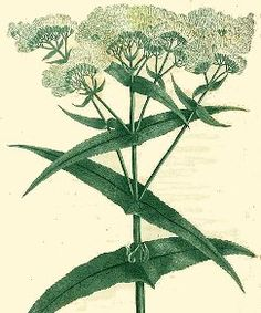 Boneset old-time recipe for a tea to throw off a cold. In West Virginia folk medicine, boneset was simmered with lemon and honey to make a cough syrup.  Boneset was used with success during the influenza epidemic of 1918-19.