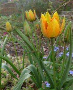 """Tulipa whittallii """"Major"""""""