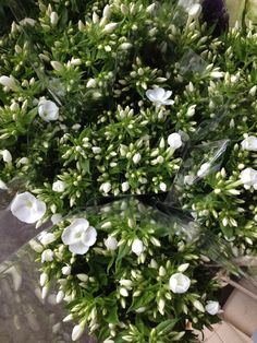 Phlox 'Danielle' Sold in bunches of 10 stems from the Flowermonger the wholesale floral home delivery service.
