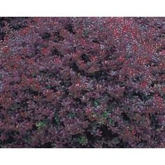 2.87-Quart Insignificant Crimson Pygmy Barberry (L10821) - found at Lowes online