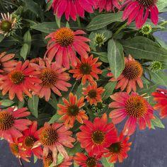 NEW 2018 - Lakota™ Santa Fe - Coneflower - Echinacea hybrid Short Plants, Red Plants, Live Plants, Hummingbird Flowers, Hummingbird Garden, Santa Fe, Flowers That Attract Hummingbirds, Garden Planner, Organic Gardening Tips