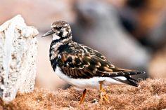 Ruddy Turnstone  #Namibia #animali #natura photo by Omar Fragomeni