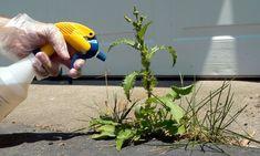 Remedios naturales para eliminar las malas hierbas del jardín - Para Más Información Ingresa en: http://jardinespequenos.com/remedios-naturales-para-eliminar-las-malas-hierbas-del-jardin/