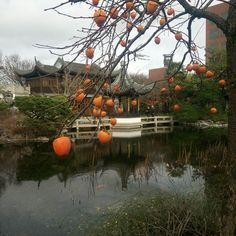 Persimmon tree at the Lan su Chinese #garden #portland