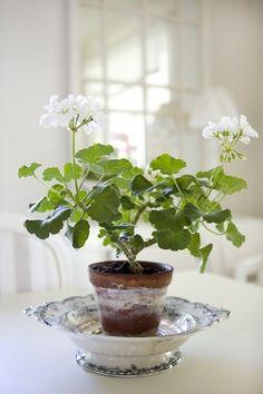 White Geranium  emilialua1.tumblr.com