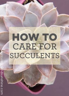 Caring for Succulents Learn the basics of how to take care of your succulent plants for your home this fall!Learn the basics of how to take care of your succulent plants for your home this fall! Crassula Succulent, Succulent Care, Succulent Gardening, Succulent Terrarium, Container Gardening, Organic Gardening, Gardening Tips, Succulent Containers, Container Flowers