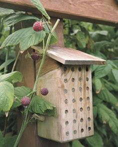 To ensure pollination of your raspberries, build a simple orchard mason bee house by drilling holes in a 4x4 and giving it a shingle-roof overhang. Secure the house to a sunny trellis pole, and the bees will come.