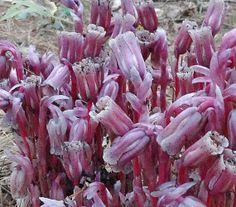 Seeds Ghost Flower Dutchman's Pipe Indian Pipe by bazketmakr