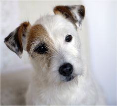Jack Russell pup. . .Beautiful face!