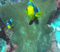 Couple cuties from the reef. #australia #greatbarrierreef #diving #scuba by evanpicturetime http://ift.tt/1UokkV2