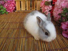 Dwarf rabbit.. I'm getting one :)