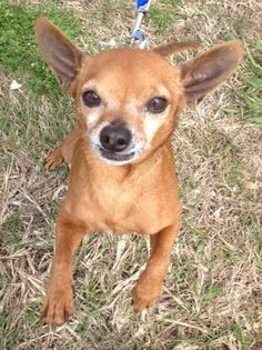 Meet Coop, the cuddler!!! a Petfinder adoptable Chihuahua Dog | Burlington, VT | My name is Cooper or just call me Coop!My last owner became very sick and several nice people came...