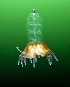 Ctenophore,some of these jellyfish look like aliens!