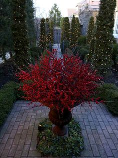 Pillar shrubs wrapped in lights and an urn full of winterberry in garden at Christmas time