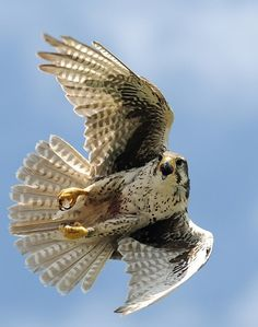 Fantastic Photos birds of prey falcon Style For a wildlife associated with victim photography, the main concern almost all complain with regards to would All Birds, Birds Of Prey, Raptor Bird Of Prey, Peregrine Falcon, Arte Sketchbook, Bird Wings, Big Bird, Animal Wallpaper, Animals Images