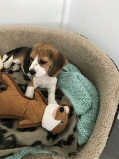 Are you interested in a Beagle? Well, the Beagle is one of the few popular dogs that will adapt much faster to any home. Cute Dogs And Puppies, Pet Dogs, Dog Cat, Pets, Doggies, Most Popular Dog Breeds, Best Dog Breeds, Pet Trainer, Super Cute Dogs