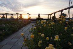 rose garden at Hellerup harbour