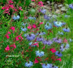 Blue Nigella and Pink Autumn Sage...