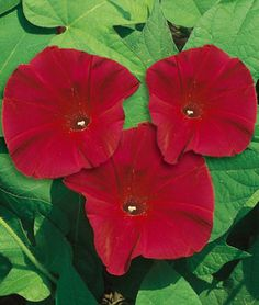 """Morning Glory, Scarlett O Hara... """"One of the first All-America Selections winners. Fast-growing, 8-10 ft. vines with attractive foliage and cheerful rosy red 3-4 flowers. Covers fences, arbors and porch posts. Easy to grow. Grows best in full sun. GARDEN HINTS: For best germination, soak seeds overnight before planting. For earlier bloom, start indoors 6 weeks before outdoor planting time."""""""