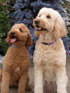 2 doods. The white one looks just like my Bella.