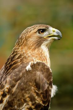 Red-tailed Hawk Close-up Photograph by Ann Bridges