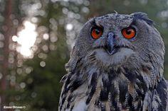 Huuhkaja (Eurasian Eagle Owl)